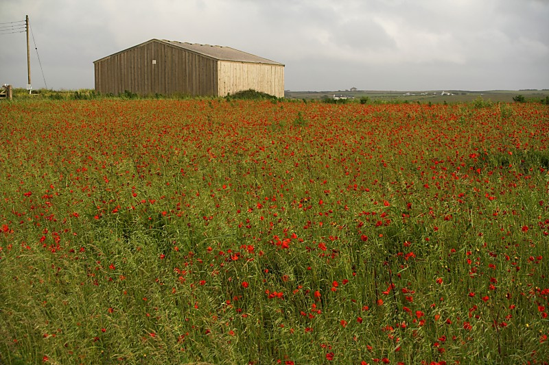 IMAGE: http://www.newquay-plus.co.uk/POTN/Poppies-01.jpg